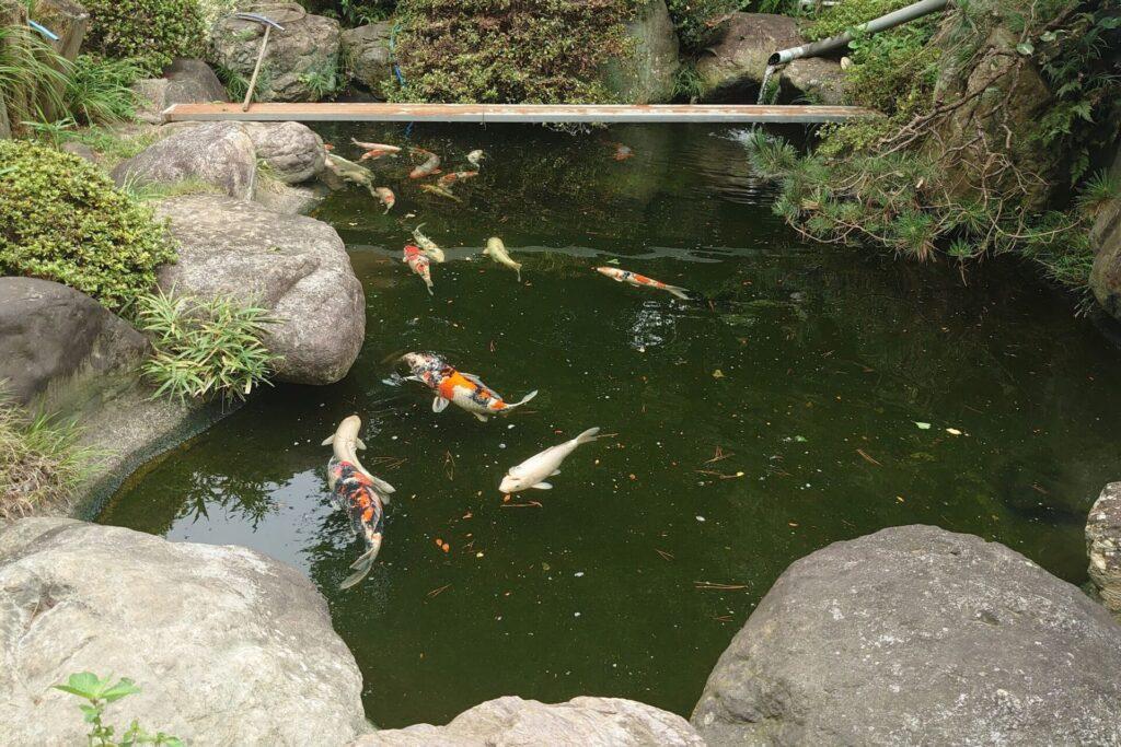 お庭に鯉はやっぱり素敵